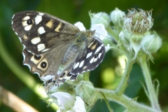 Speckled Wood Sark