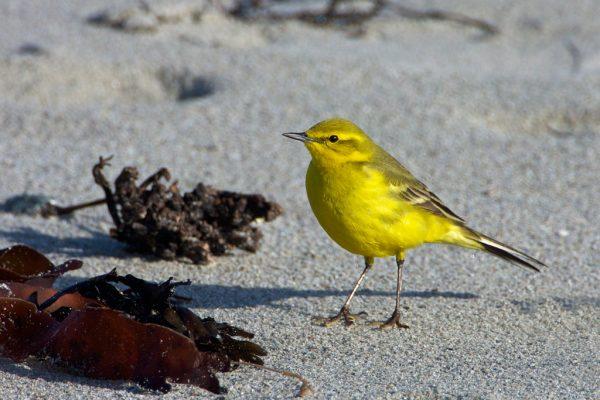 Guernsey Birds
